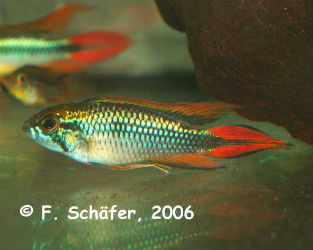 Apistogramma agassizi Super Red photo credit: Frank Schäfer