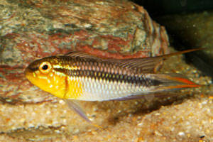 Apistogramma agassizii Abacaxis photo credit: R.Suttner