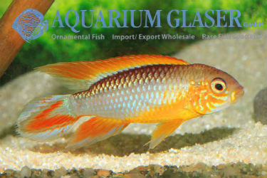 Apistogramma agassizii FIRE-RED photo credit: Frank Schäfer
