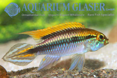 Apistogramma agassizii Flamenco 	photo credit: Frank Schäfer