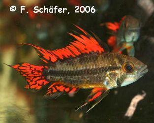 Apistogramma cacatuoides Mega Red photo credit: Frank Schäfer