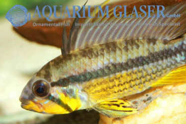 Apistogramma cf. juruensis Black Chin photo credit: Frank Schäfer