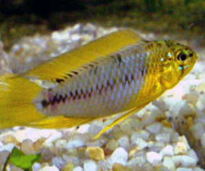 Apistogramma for sale online