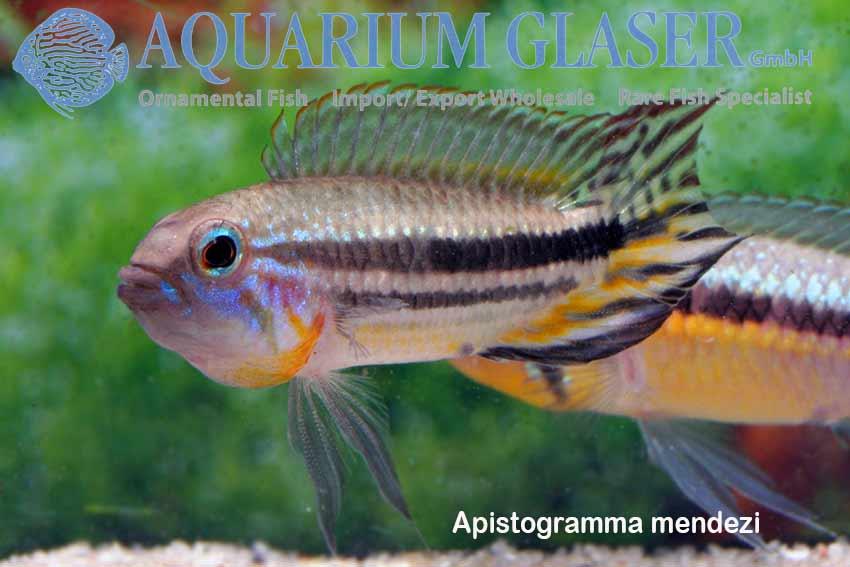 Apistogramma paucisquamis und A. mendezi photo credit: Frank Schäfer