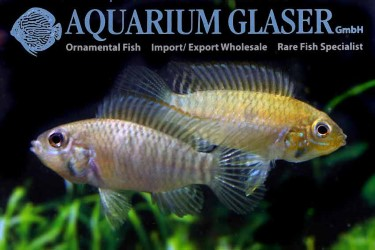 Apistogramma rupununi pair photo Frank Schäfer