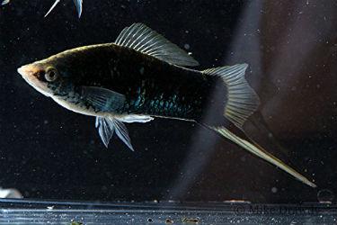 Buy Black Moscow swordtail fish