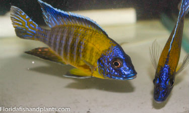 Blue Dorsal Peacock for Sale