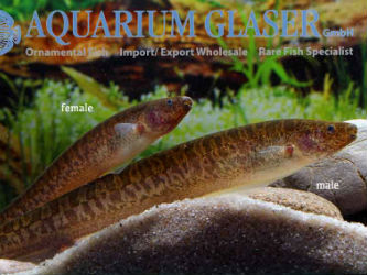 Brachyhypopomus brevirostris for sale imported from Peru