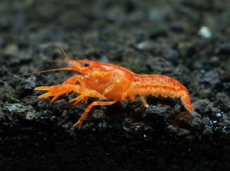 Mexican Dwarf Crayfish photo by InvertObsession