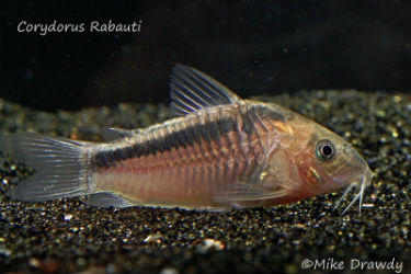 Rabauti Corydoras for sale