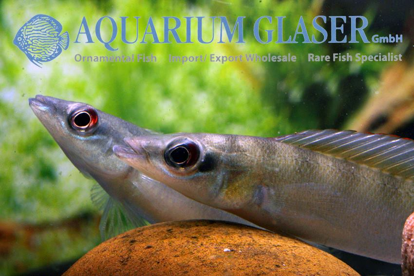 Crenicichla regani Alenquer for sale imported from Peru