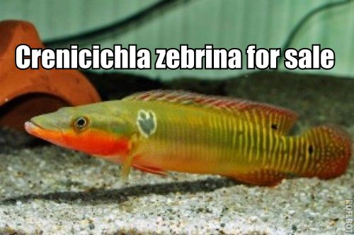 Wild caught Crenicichlas zebrine for sale