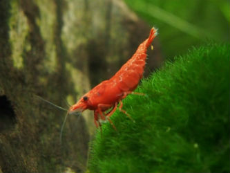 Fire red cherry shrimp photo by InvertObsession