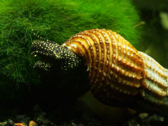 Giant Sulawesi Snails for Sale Photo credit: InvertObsession