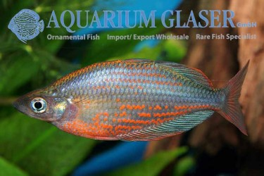 Glossolepis dorityi for sale photo Thomas Weidner