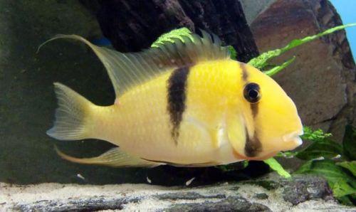 Buy Guianacara geayi Bandit cichlids here