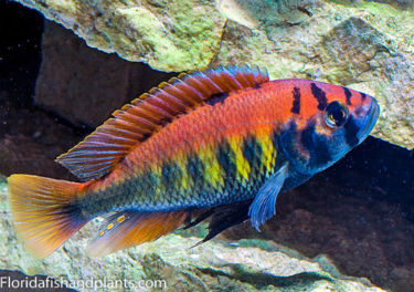 Haplochromis Thick Skin Red Fin
