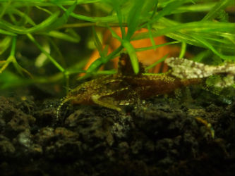 Asian Stone Mini Catfish photo by InvertObsession
