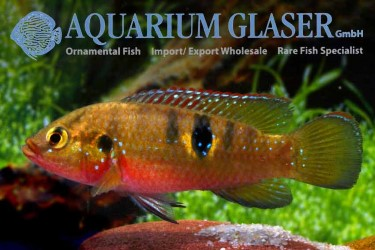 Hemichromis letourneauxi for sale