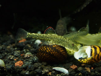 Hillstream loach for sale photo credit InvertObsession