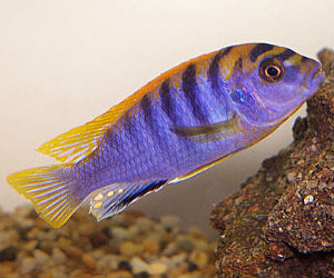 Buy Labidochromis sp. Hongi