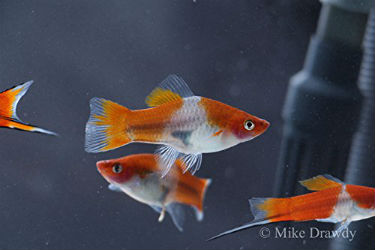 Buy Imperial Koi swordtail fish