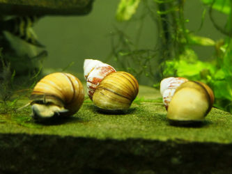 Japanese Trapdoor Snails Photo credit: InvertObsession