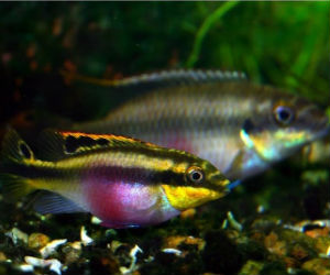 Pelvicachromis species