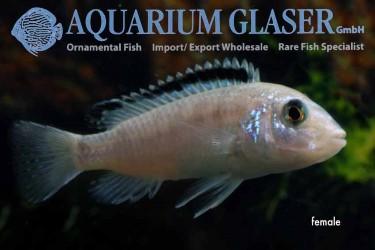 Labidochromis caeruleus white female photo Frank Schafer