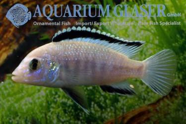 Labidochromis caeruleus white male photo Frank Schafer