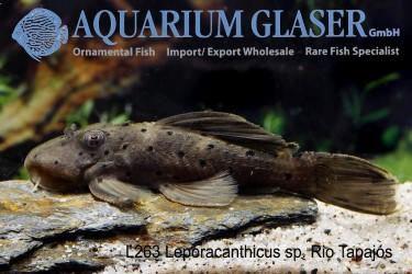 Leporacanthicus L263 photo Frank Schäfer