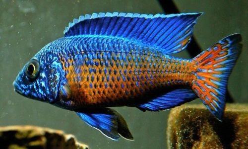 Aulonocara MALE Ngara Flametail Peacock