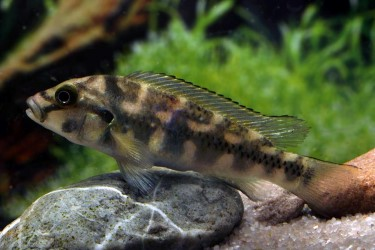 Orthochromis stormsi Photos Frank Schäfer