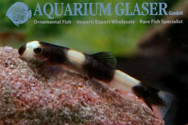 Yaoshania pachychilus  sale freshwater