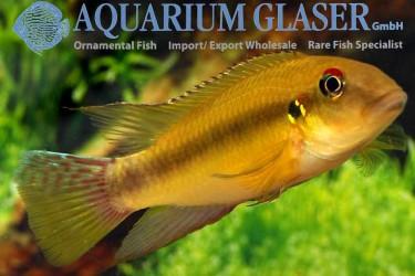 Pelvicachromis-humilis-Liberia-Red-male