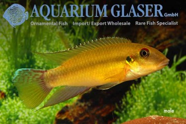 Pelvicachromis-humilis-adult-male