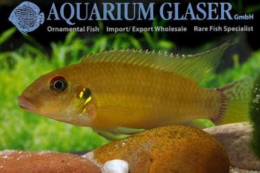 Pelvicachromis-humilis-male
