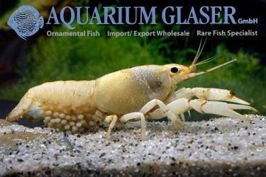 Procambarus clarkii White photos Frank Schäfer