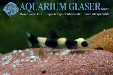 Panda loaches sale freshwater