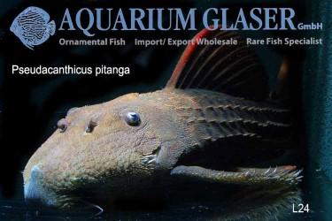 Pseudacanthicus pitanga photos Frank Schäfer