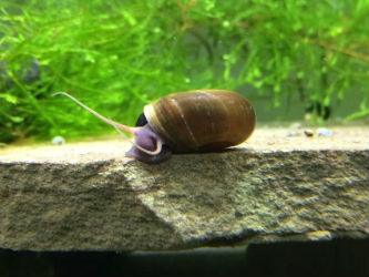 Wild Brown Ramshorn snail Photo credit: InvertObsession