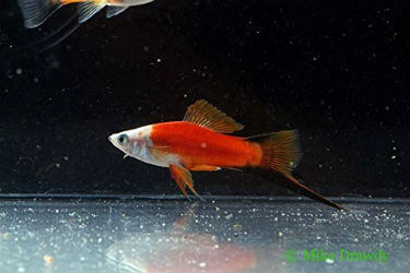 Buy Red Panda swordtail fish