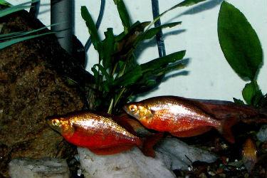 Red Rainbowfish (G. incisus)