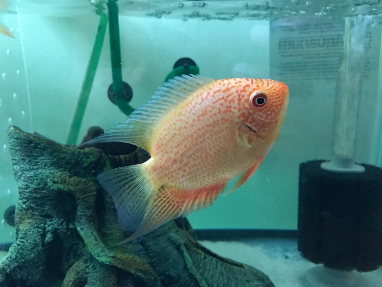 Buy Red Spotted Severums