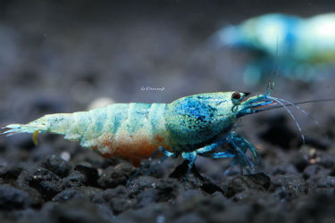 Taiwan Bee Blue Bolt Aquarium Shrimp photo SoShrimp