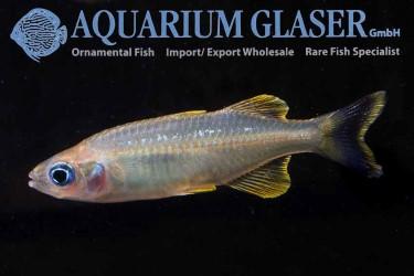 Towuti Rainbowfish