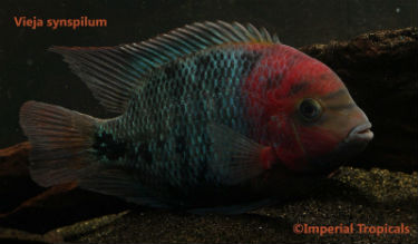 Vieja synspilum for Sale
