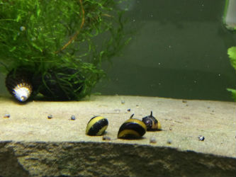 Zebra Nerite Snails Photo credit: InvertObsession
