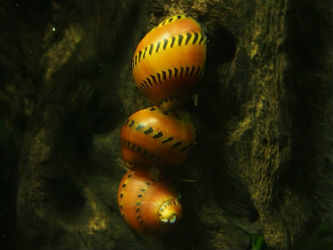 Zebra Thorn Nerite Snails Photo credit: InvertObsession