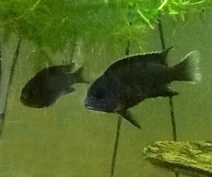 Acei Cichlid For Sale Beautiful Yellow Tail Acei From